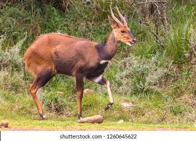 A beautiful dark brown bushbuck antelope in Aberdar Park. Africa