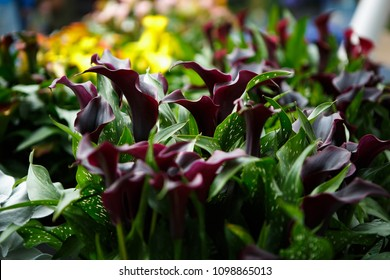 Beautiful dark callas lillies flowers bloom in spring garden.Decorative wallpaper with calla flower blossom in springtime.Beauty of nature poster.Vibrant natural colors