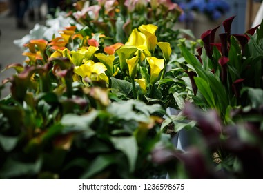 Beautiful dark callas lillies flowers bloom in spring garden.Decorative wallpaper with calla flower blossom in springtime