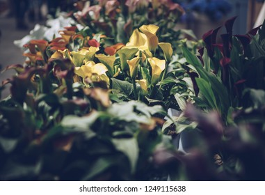 Beautiful dark callas lillies flowers bloom in spring garden.Decorative wallpaper with calla flower blossom in springtime.Vintage film filter
