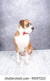 Beautiful Dark Fawn Boxer Dog with Pretty Red Velvet Bow