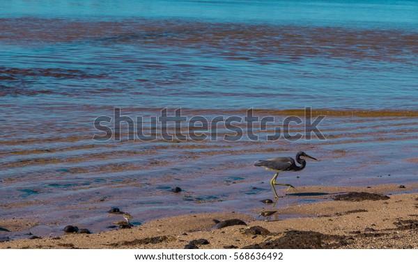 Beautiful Dark Heron on the beach fishing in the morning