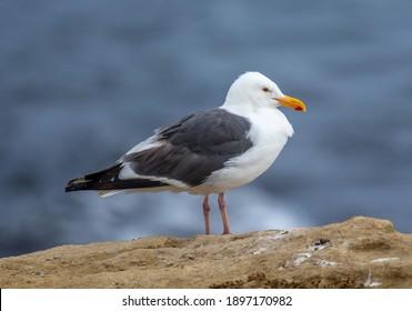 A beautiful dark mantled Western Gull resting on the rocks along the rugged California coast.