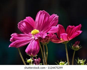 Beautiful dark pink cosmos flowers against a black background