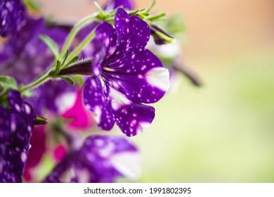 Hermoso color púrpura oscuro de flores de petunia de mármol