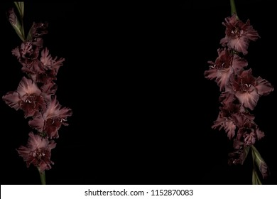 beautiful dark purple gladioli flowers with buds isolated on black background