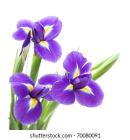 beautiful dark purple iris flower isolated on white background