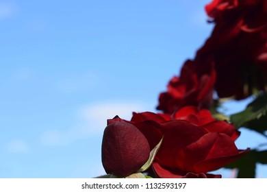 "beautiful dark red rose against a blue background from a one side. Rose Floribunda - ""Tornado"" (KORtor). Rose Garden in the Seville, Spain"
