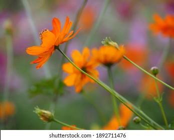 Beautiful dark yellow cosmos flowers on a background of a field of yellow cosmos flowers. - Shutterstock ID 1892711476