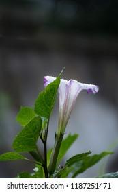 Beautiful Datura Flower