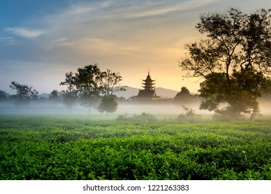 Beautiful dawn with early morning dew on tea plantations of Bien Ho tea farm, Gia Lai Province, Vietnam