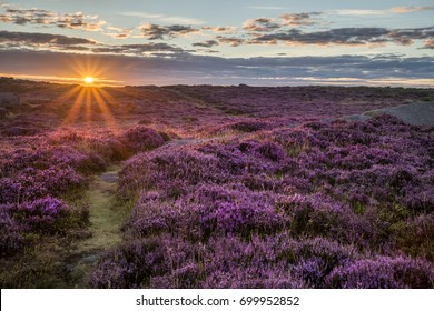 Beautiful dawn sunrise landscape image of heather on Higger Tor in Summer in Peak District England