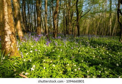 A beautiful day in April and a walk from Johns Cross in east sussex to Salehurst and mountfield admiring the countryside and blankets of woodland bluebells