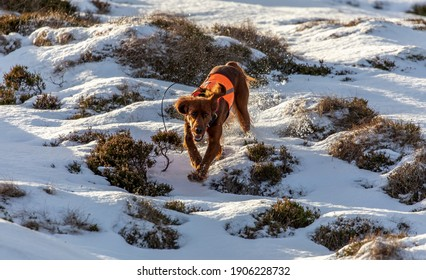 A beautiful day for dog training. My Irish Setter is on the run, searching for birds on the ground.