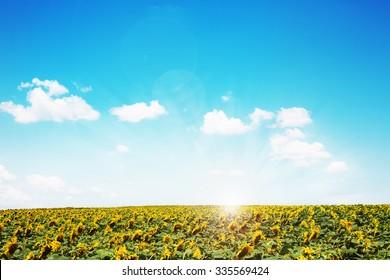 Beautiful day and sunflower field
