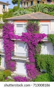 Beautiful daylight view to purple flowers on a house. Santa Margherita Ligure, Italy