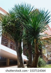 Beautiful Decoration Plants Of Cabbage Tree Or Cordyline Australis In The Garden Of The Hospital, North Bali, Indonesia