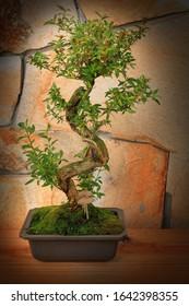 Beautiful decorative Bonsai tree with a natural stone background