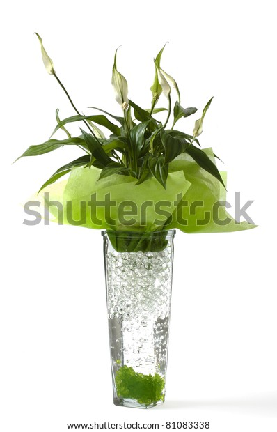 Beautiful Decorative House Plant Family Zantedeschia Stock ... on