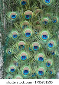 Beautiful decorative peacock with elegant feather work