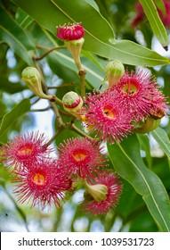 Beautiful Deep pink powder puff flowers of Australian Native Eucalyptus Tree - Dunlop's bloodwood (Corymbia dunlopiana)