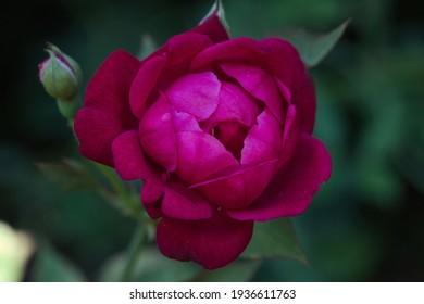 A beautiful deep pink rose growing in a garden.
