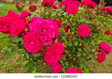 Beautiful deep red rambling rose is Chevy Chase cultivar ,has large clusters of small and very double blooms of rich deep crimson use as summer ornamental floweing plant in the garden and public park.