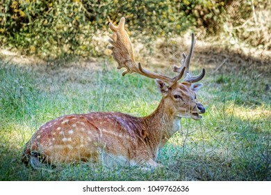 Beautiful deer with big horns lying in the woods on a sunny day.