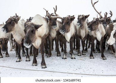 Beautiful deer in a large herd. Close-up. Ethnography