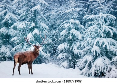 Beautiful Deer male with big horns in the winter snowy forest. Winter natural background. Christmas image.