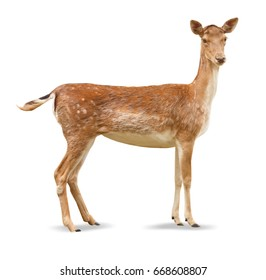 Beautiful deer on white background
