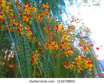 Beautiful delicate blooming shrub against blue sky in Countryside Andalucia
