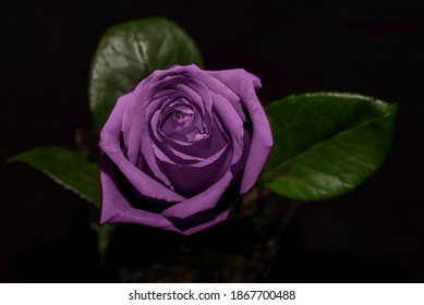 Beautiful delicate dark lilac rose flower close-up on a black background