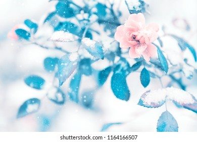 Beautiful delicate pink roses and blue leaves in snow and frost in a winter park. Christmas artistic image.