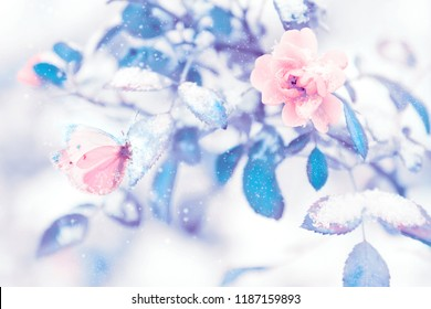 Beautiful delicate pink roses and butterfly against blue purple leaves in snow and frost in a winter garden. Christmas artistic image.