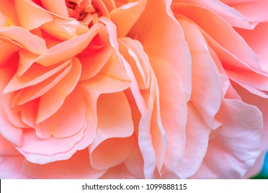 Beautiful delicate rose flower petals  with raindrops, close up. Pale pink color rose bloom var. Chippendale. fragrant blooms in living coral color, top view,  flat lay, copy space for text.