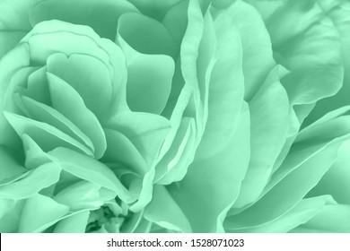 Schöne zarte Rosenblütenblätter in trendiger Neo-Mint-Farbe. Farbtrends 2020 Neo Mint. Abstrakter neuer Minzhintergrund. Abstrakter, hellgrüner Hintergrund mit Blütenblättern