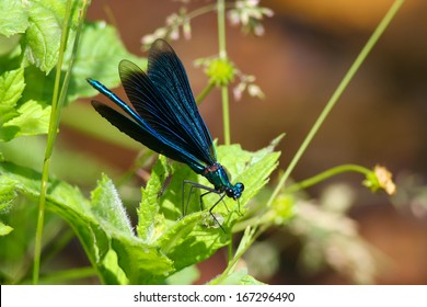 Beautiful Demoiselle - Blue Dragonfly (Calopteryx virgo)