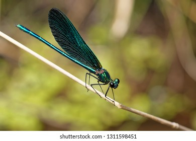 Beautiful demoiselle dragonfly