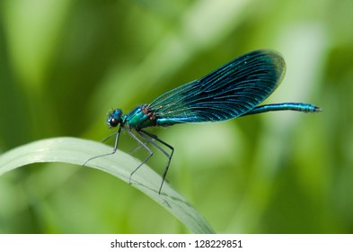 Beautiful Demoiselle on grass