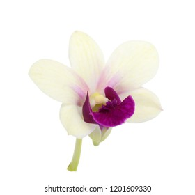 beautiful dendrobium orchid flower isolated on white background