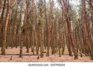 Beautiful dense forest with tall Pine trees in Nilgiri Hills at Kodaikanal