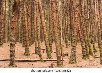 Beautiful dense Pine forest in Nilgiri Hills at Kodaikanal