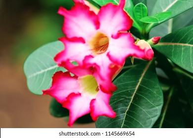 A beautiful desert rose in bloom