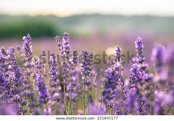 Beautiful detail of scented lavender field in perfect radiant morning light.