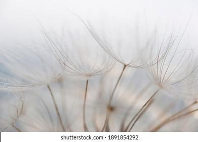 Beautiful detail shot of a dandelion