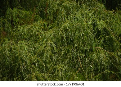 Beautiful detail of a willow crown, green leaves and branches as wallpaper