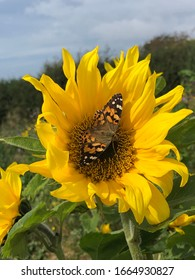 Beautiful, detailed bitterly resting on a sunflower