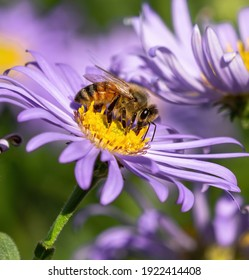 A beautiful and detailed closeup image of a Honeybee collecting nectar on a Purple Aster flower in full bloom.