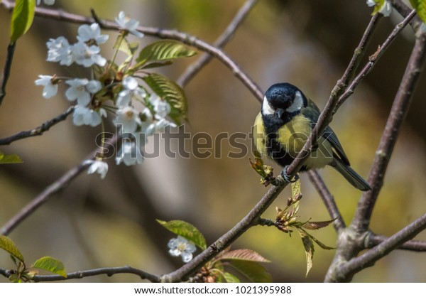 Beautiful detailed Great Tit (parus major) sitting on branch with white flowers pointing beak straight at camera. Lovely bokeh. Suitable as background, postcard, wallpaper etc.
